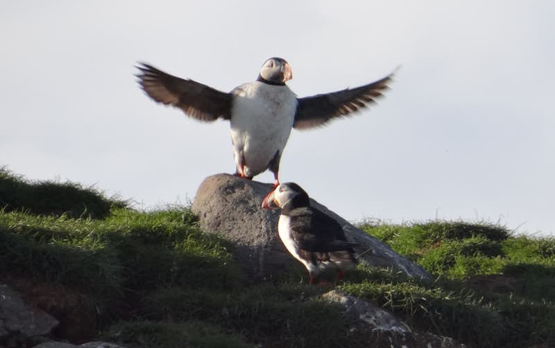 Puffin Tour from Snæfellsnes Peninsula